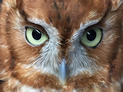 SCREECH OWL NEST PLANS